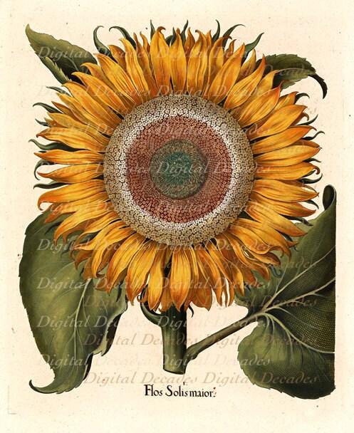 vintage illustration sunflower