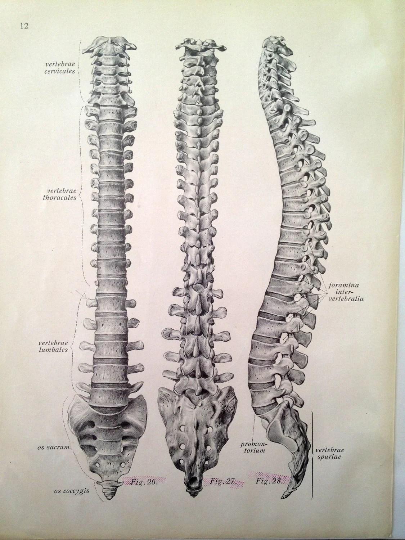 Vintage Anatomy Print Antique Vertebrae Drawing