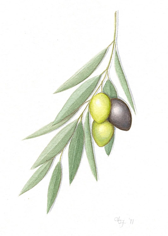 Olive Branch Painting Original Greek Olives By ABFoleyArtworks