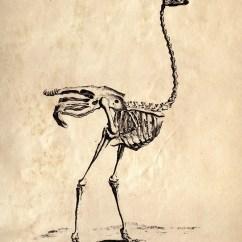 Ostrich Skeleton Diagram Wiring For Rear Trailer Lights 18x24 Vintage Science Animal Study 031