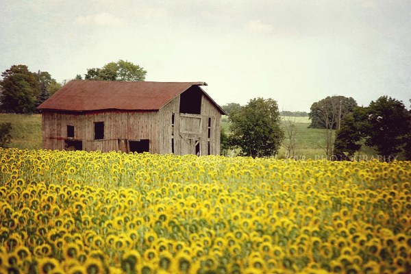 Barn with Sunflower Vintage Photography