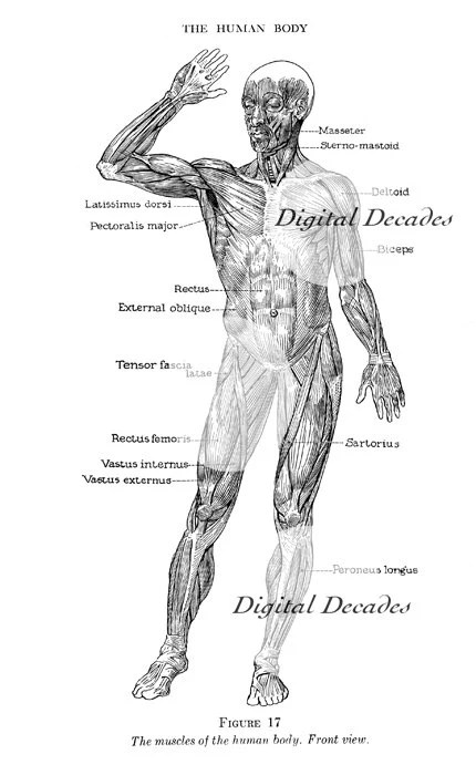 Medical Muscle Anatomy Human Front and Back Digital Images