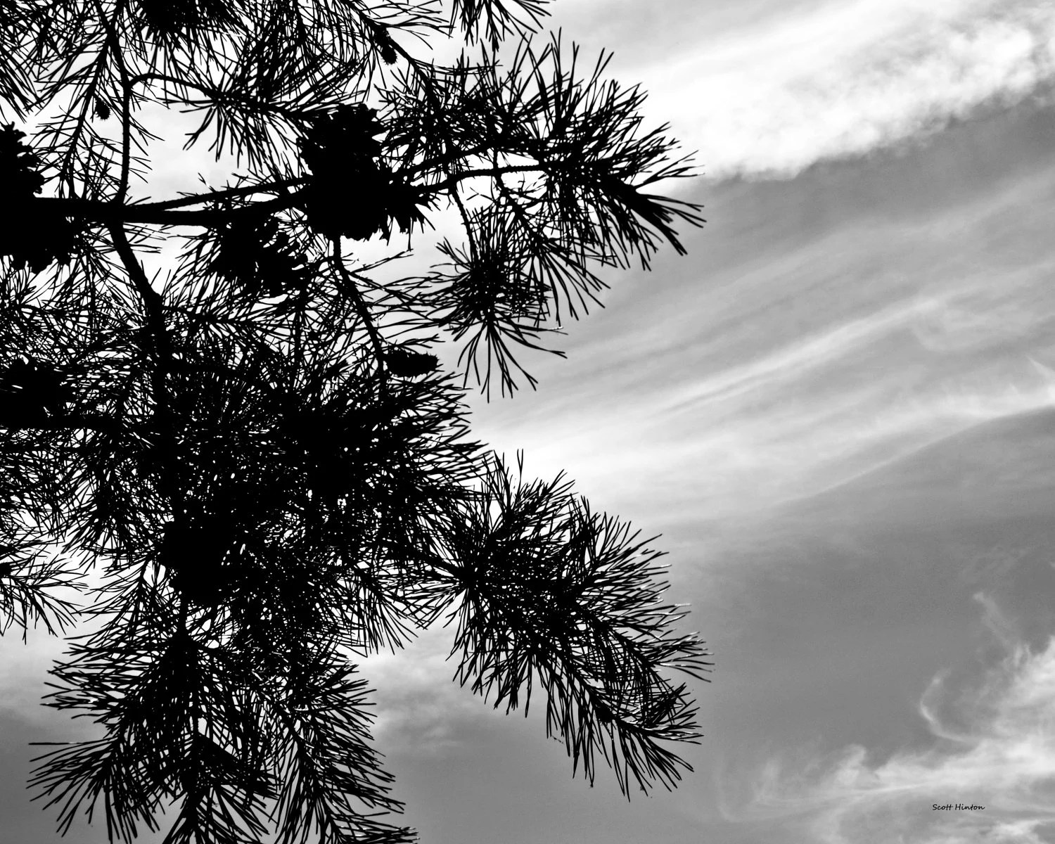 Pine Tree Silhouetted in the Clouds 8x10 Black and White - HintonPhotography