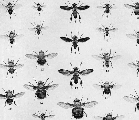 True Fly Chart Edwardian Entomology 1907 Natural History