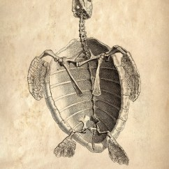 Turtle Anatomy Diagram Iei Keypad Wiring 18x24 Vintage Animal Sea Turlte Skeleton Poster