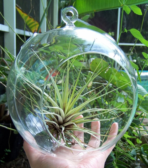 Air Plant Hanging Glass Terrarium Large size DIY Glass Orb