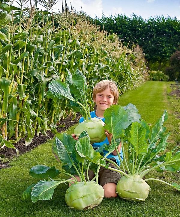 2g Approx. 800 Giant Kohlrabi Seeds Superschmelz Grow