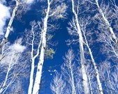 Aspen Trees Aspens Winter Blue Trees Forest 16x24 Colorado Rocky Mountains Rustic Cabin Lodge Photograph