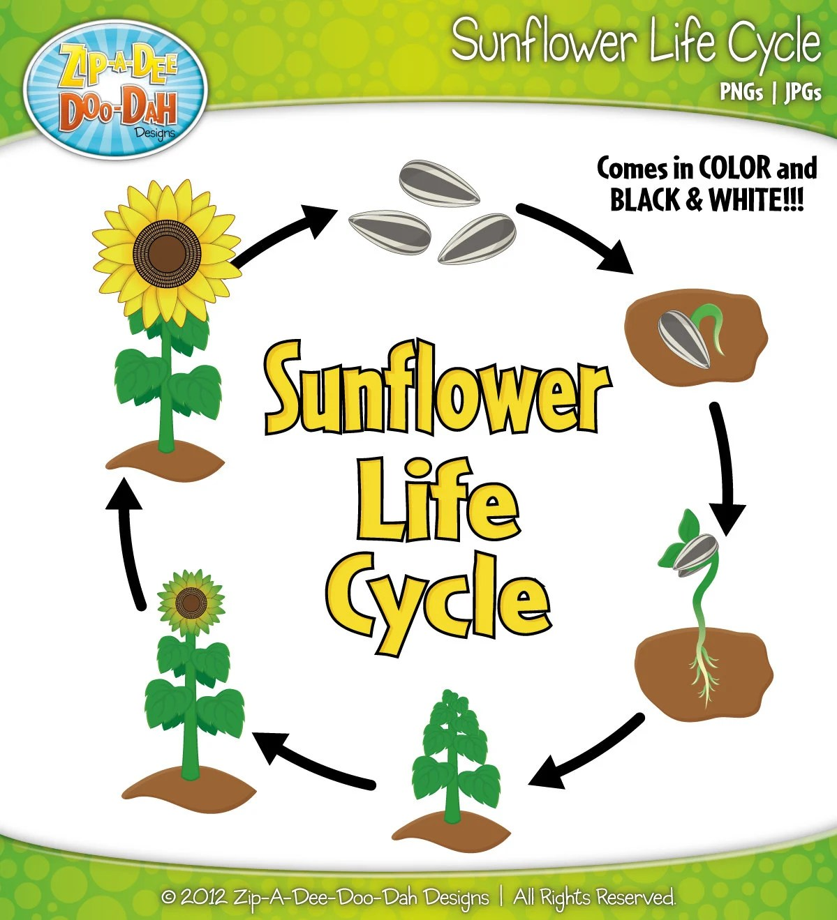 sunflower plant life cycle diagram rv generator transfer switch wiring clipart set includes by
