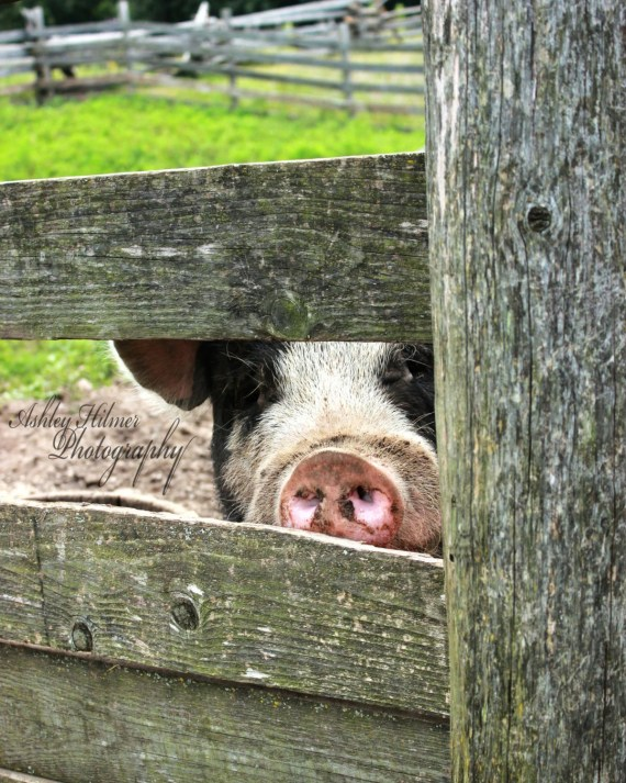 Peek a Boo: Fine Art Print of Pig Peeking Through a Fence