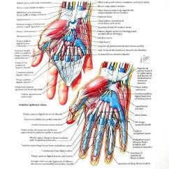 Palmar Hand Muscle Anatomy Diagram Guitar Wiring 2 Pickup 1 Volume Tone Print Wrist Dissections Flexor