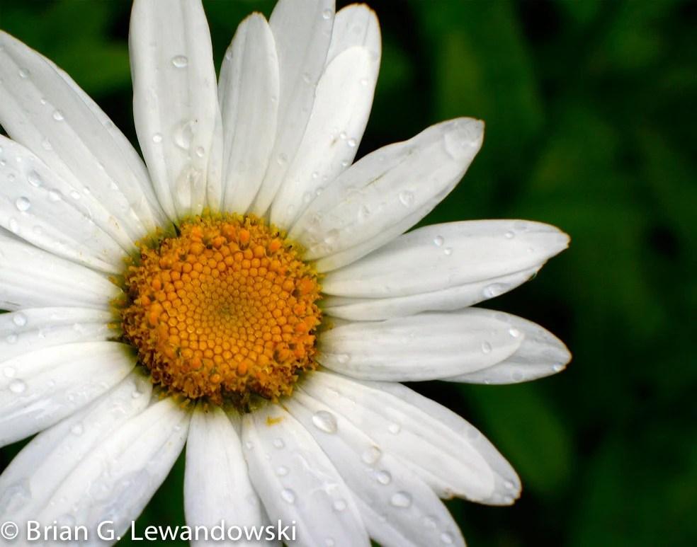 Daisy. Daisy. - ArtofBrianGerard