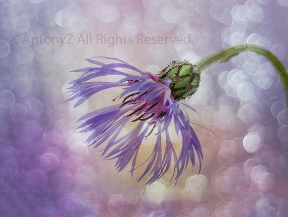 Items Similar To Blue Thistle Flower Scotland Purple