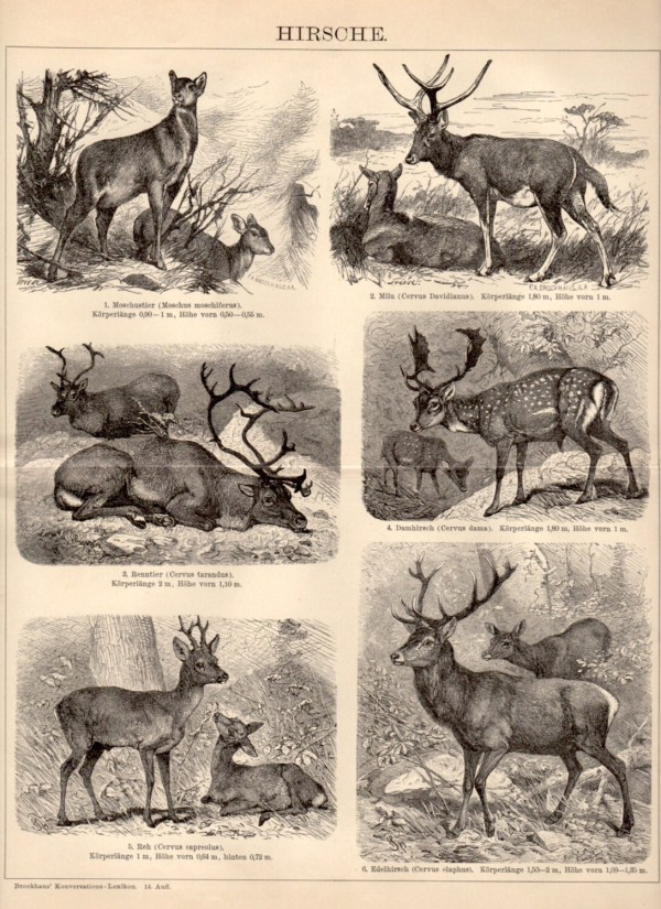 1898 Deer Antique Print Vintage Lithograph Cervidae