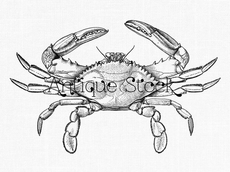 Crab Line Art Clipart 'Blue Crab' Sea Life