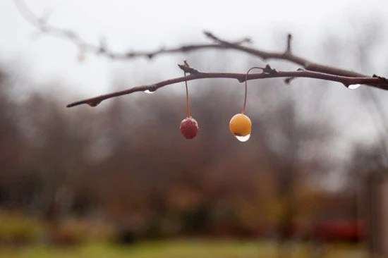 gold and red berries in a soft rainy landscape, pennsylvania winter branches - GardenCapture