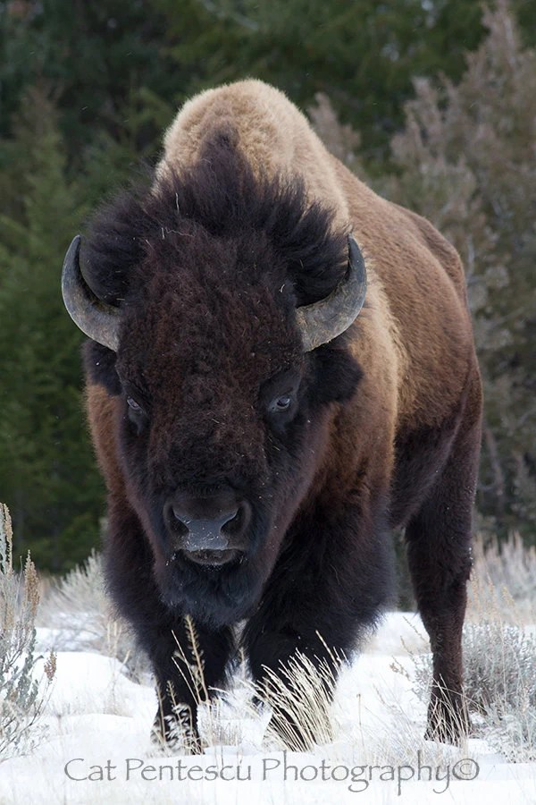 American Buffalo Bison Wild Wildlife Mammal Animal Bull Winter
