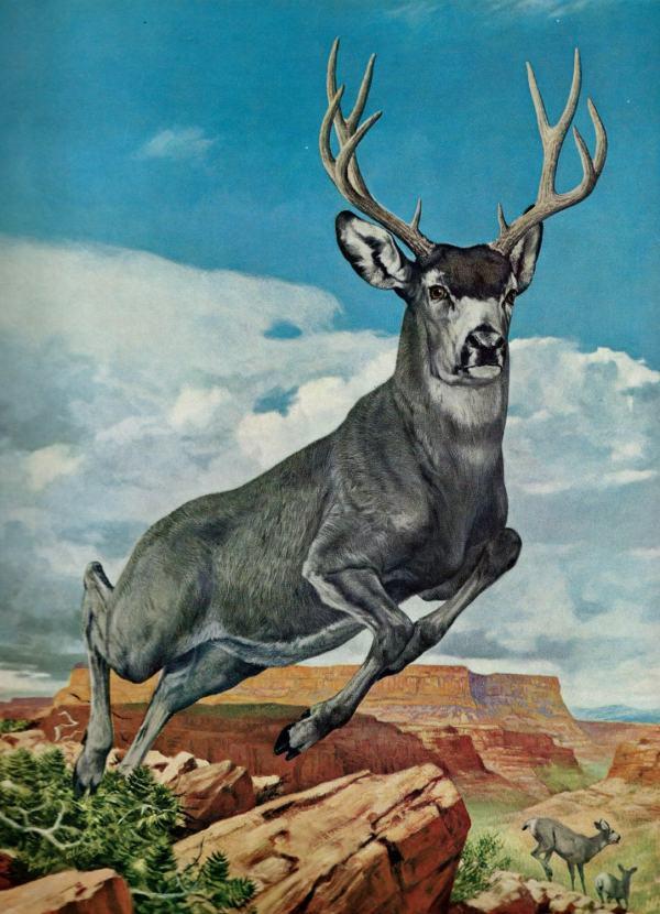 Vintage Mule Deer Art Illustration Douglas Allen