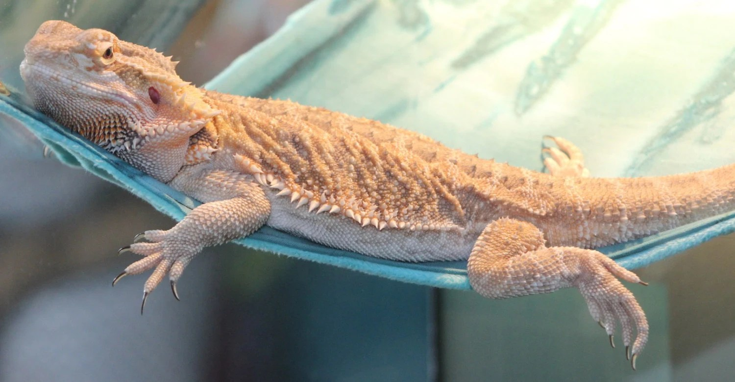 The Lizard Lounge Ready To Ship Reptile Hammock By