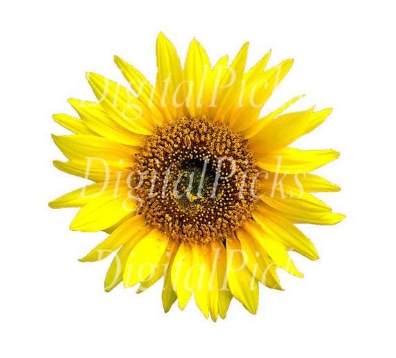 """2.127"""" x 2.080"""" fall sunflower"""
