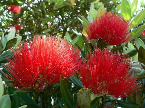 New Zealand Christmas Tree Container Plant Easy to Grow 10