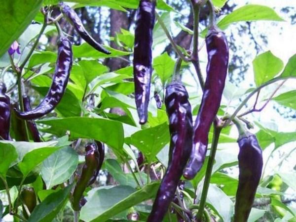Cayenne PepperPurple Black HEIRLOOM OPEN by CaribbeanGarden