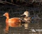 Cinnamon Teal, Waterfowl, Duck, Wetland Photograph, Teal Photograph, Duck Fine Art Photography, Cinnamon Teal Art, Photo Décor Duck Image