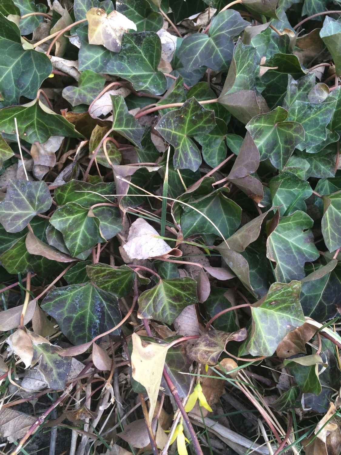 Ivy leaves dried herb for apothecary spells by ...