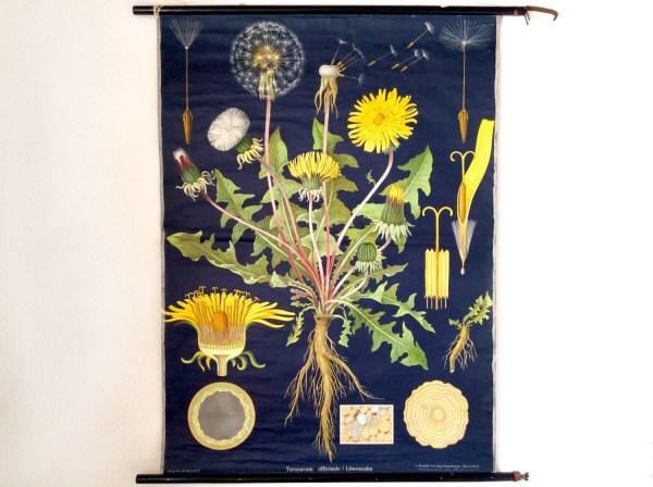 Vintage School Chart Dandelion Flower Jung-koch Quentell