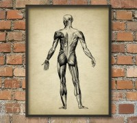 Muscle Man Vintage Anatomy Wall Art Poster 2 by QuantumPrints