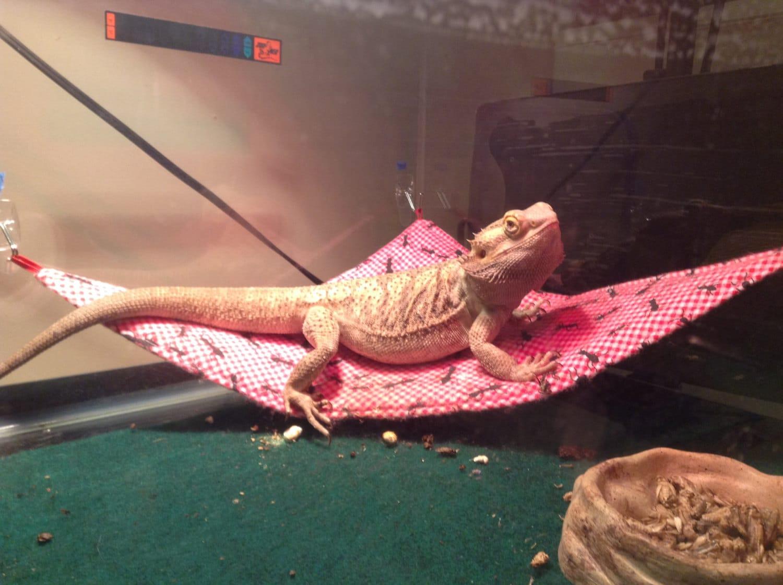 Great Soft Bearded Lizard Hammock