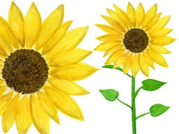 sunflower watercolour clipart graphics