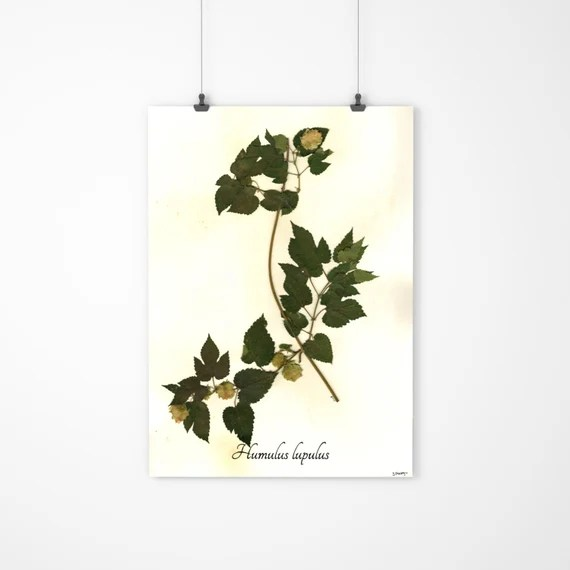 Real Hops Herbarium Specimen - Dried Hops Flower Botanical Art - Unique Beer Lover Gift