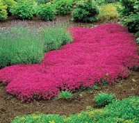 Creeping Thyme Magic Carpet - Carpet Vidalondon