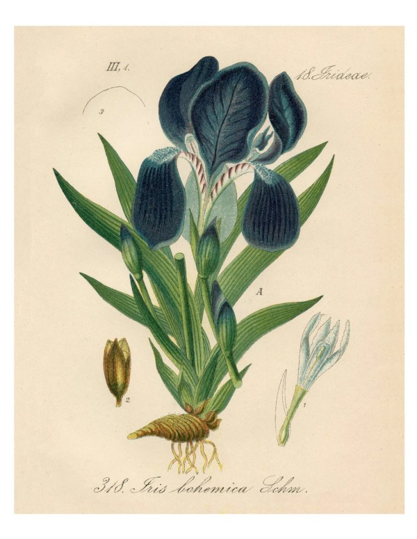 Botanical Print Purple Iris Giclee