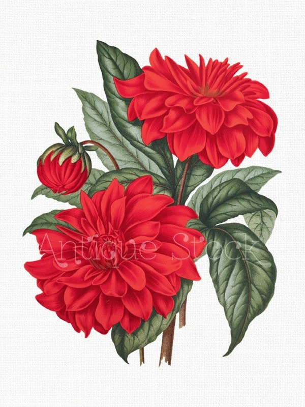 Red Flower Clip Art 39Cactus Dahlia39 Vintage Digital