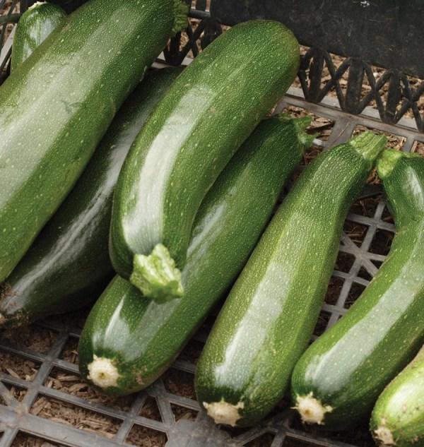 Dark Green Zucchini 100 Seeds summer squash Buy 2 orders