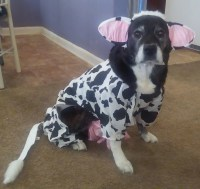 Dog cow costumePet cow costume Dog cow Dog halloween