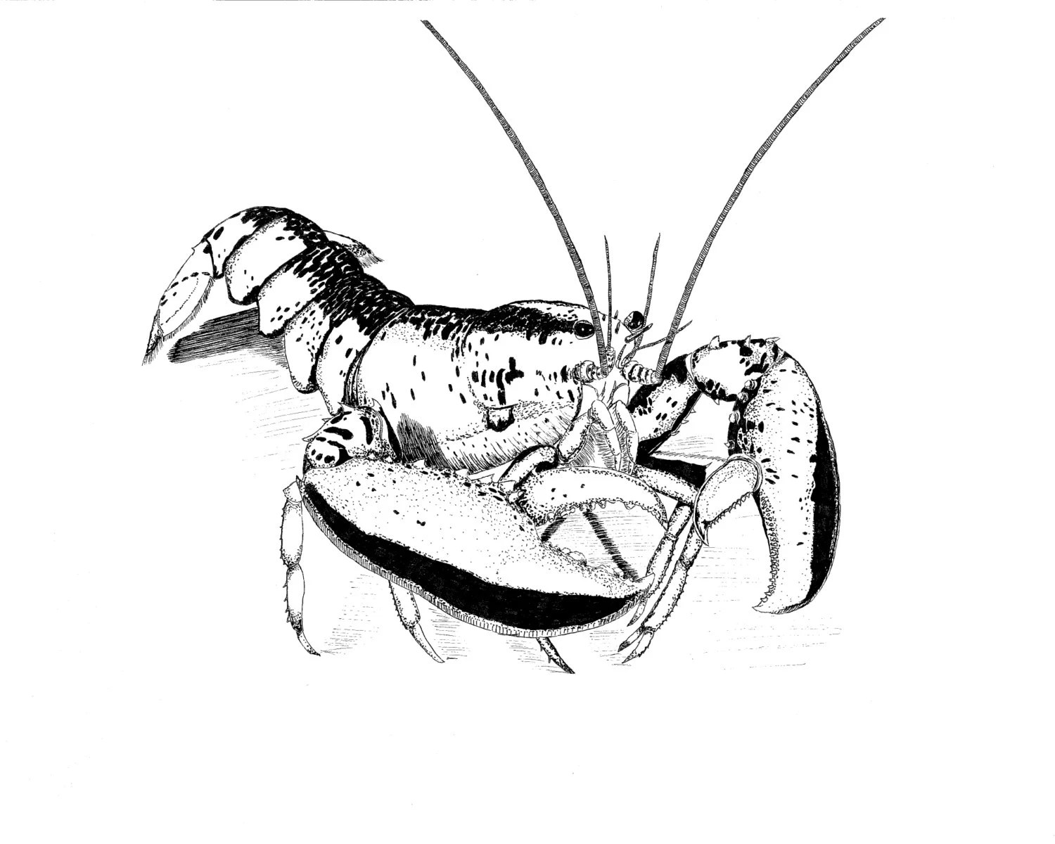 Maine Lobster Black and White Pen and Ink Art Print Marine