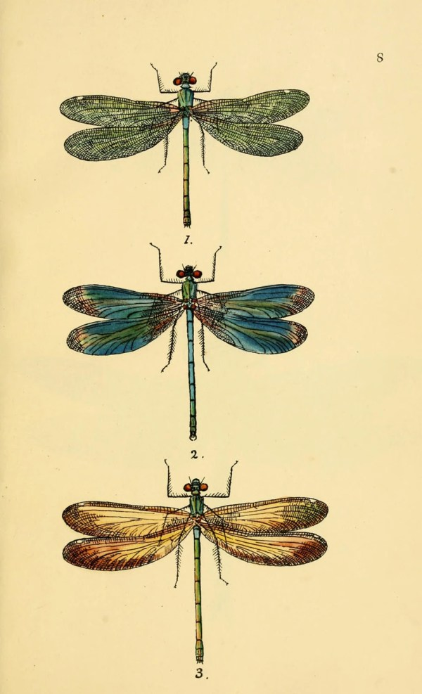 Vintage Dragonfly Art Print Antique Scientific