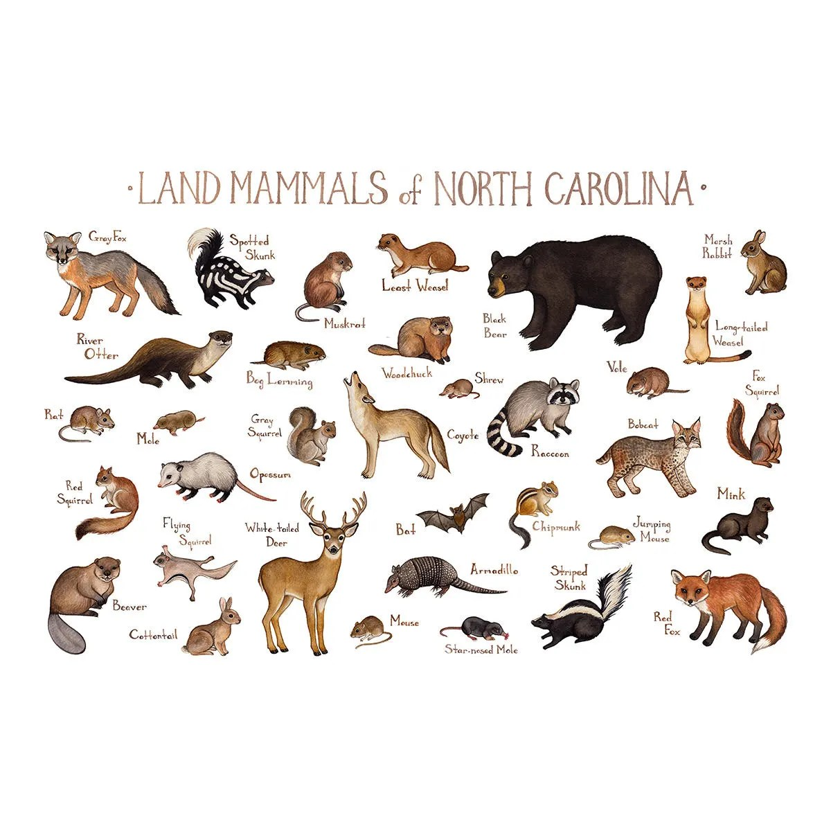 North Carolina Land Mammals Field Guide Art Print Animals