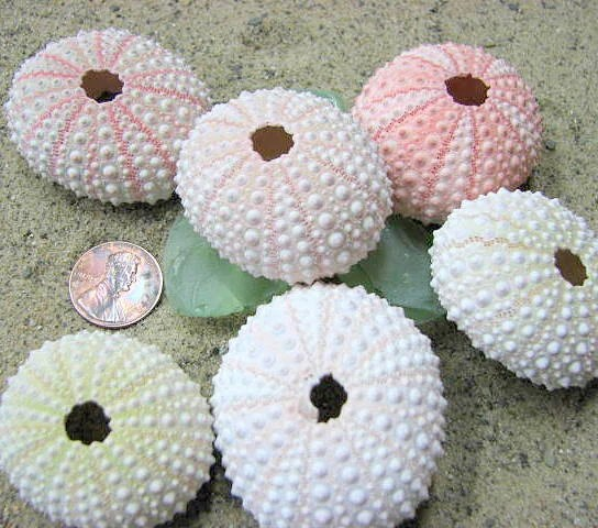 Beach Decor Pink Sea Urchins 6pc, for Beach Wedding Decor, Candlescaping or Crafts