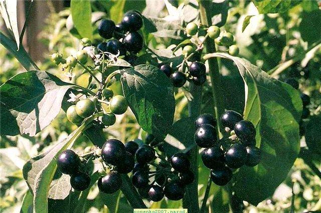 Sunberry: hasznos tulajdonságok és ellenjavallatok a kertben - Bogyók