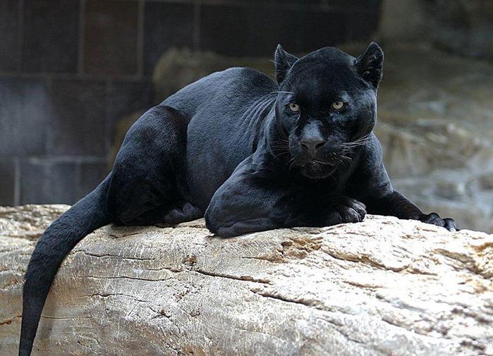silná korisť čierna mačička