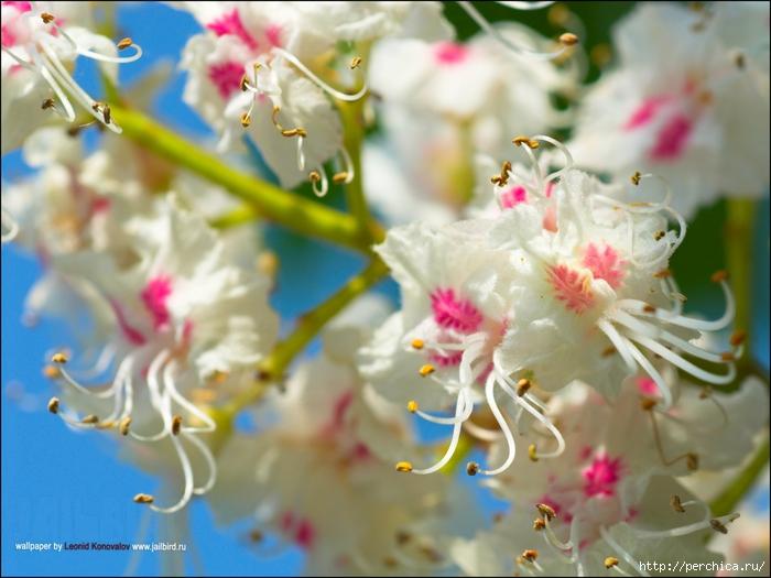 flori castan de la rețetă varicoză cum să se ocupe de varicoza inițială