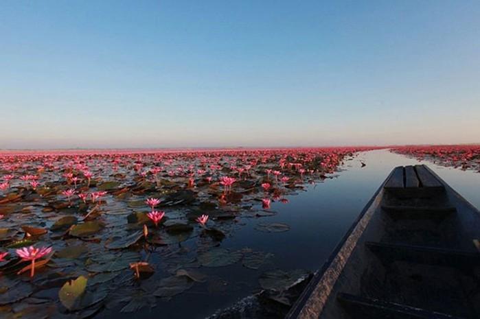 Озеро невероятной красоты: «море красных лотосов» в Таиланде