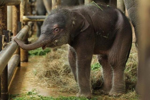 Индийский слоненок в Берлинском зоопарке