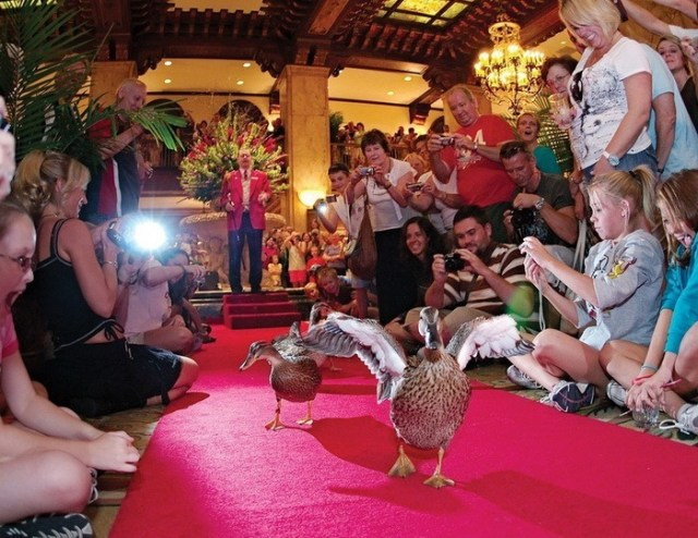Утки на красной дорожке: необычное дефиле в отеле «Пибоди» (Мемфис, США)