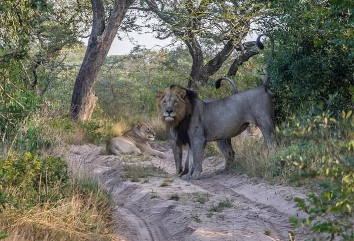 Интересные фотографии из жизни африканских львов в заповеднике Тембе