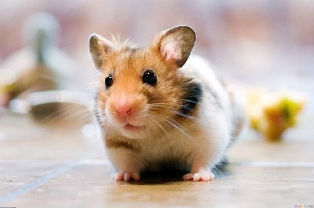 Готовые комбикорма для мелких грызунов (белых крыс, мышей, песчанок и др.)